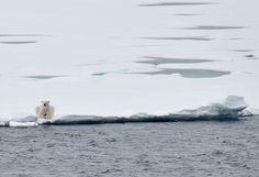 Polar bear resting at the edge of a lead.