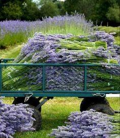 'Provence Lavender' @ Shamrock Farm on Vancouver Island, British Columbia Lavender Cottage, Lavender Blue, Lavender Fields, Lavender Flowers, Purple Flowers, Lavander, Drying Lavender, Lavender Wreath, Flowers Garden