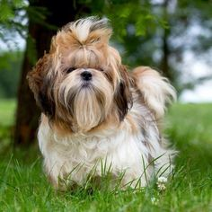 Shih Tzu & Dog Breed & The Cutest One & Information,Pictures and Facts & Pets. The post Shih Tzu Shih Tzus, Shih Tzu Hund, Chien Shih Tzu, Perro Shih Tzu, Shih Tzu Puppy, Cute Puppies, Cute Dogs, Dogs And Puppies, Doggies