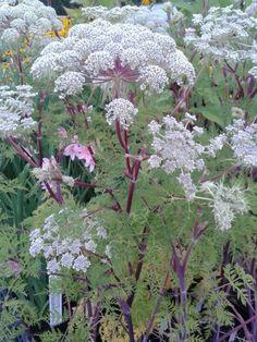 Selinum wallichianum, juli-september, 110 cm h, zon. Deze plant is geschikt voor de ondersteuning door de   Solitairpin van www.detuinfee.nl. Verkrijgbaar in 4 hoogtes.