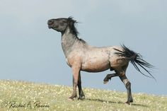 Indigo Kid, Sand Wash Basin  stallion. Photo by Rachel Reeves.