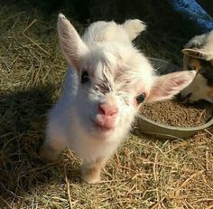 Just a tiny goat. via Classy Bro Baby Farm Animals, Baby Cows, Baby Animals Pictures, Cute Animal Photos, Cute Little Animals, Cute Funny Animals, Animals And Pets, Animal Pics, Fluffy Cows