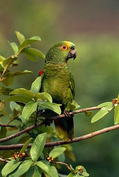 Blue-fronted Parrot.  Photo: Pete Oxford. Luxury Amazon & South American Wildlife Tours.