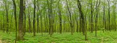 Forest at spring landscape panorama in high resolution