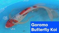 goromo butterfly koi