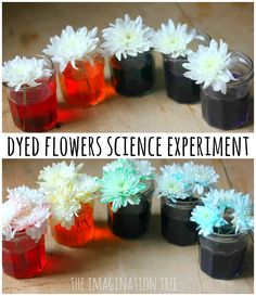 Dyed Flowers Science Experiment - The Imagination Tree