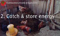 Permaculture principle: 2. Catch & store energy  Our chickens love to turn compost heaps!  Because of the kitchen scraps, the manure and the straw it heats up easily, and this hot compost heap keeps the animals warm in winter.
