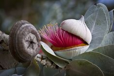eucalyptus macrocarpa // my vote for the next flower to hit it big at weddings :)
