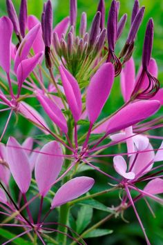 Cleome close up, photographed by Stacy Bass