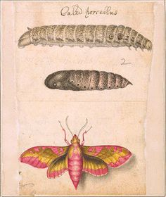 Small elephant hawk moth (Deilephila porcellus), caterpillar, and pupa. Alexander Marshal, 162?-1682, was chiefly known as an illustrator of flowers and plants. In 1980, his expertise in painting insects also came to light, through this album of insect drawings. The album consists of 57 pages containing 129 watercolors of insects: butterflies, moths, caterpillars, beetles, locusts, spiders, flies, and crickets. The backs of Marshal's drawings contain notes in his own hand.