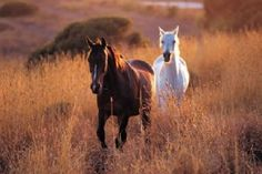 """Managing Alberta's Wild Horses 