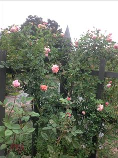 Roses in the pond garden
