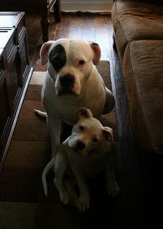 American Bulldog You bet it is a American Bull Dog She looks just like my Mom and her Puppy!