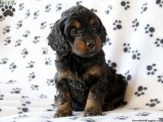 cockapoo puppies - Google Search