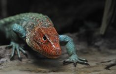 caiman lizard (Dracaena) | Caiman lizard - Dracaena...: Photo by Photographer Philip Carlo ...