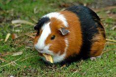 Guinea pig   Flickr