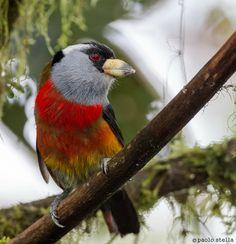 Toucan-Barbet (Semnornis ramphastinus)...Ecuador, Tandaypa Valley