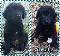2/14/17 Ringwood, NJ - Newfoundland/Labrador Retriever Mix. Meet Achilles, a puppy for adoption. http://www.adoptapet.com/pet/17581949-ringwood-new-jersey-newfoundland-mix