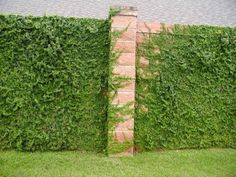 fig ivy... great fast growing to add green to your yard vertically.