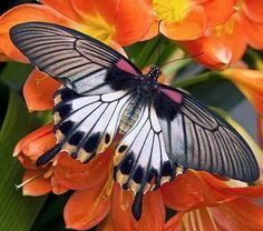 Butterfly - mainly day-flying insect ~ Dreamy Nature