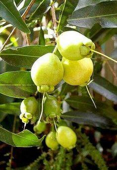 Manzanas pedorras