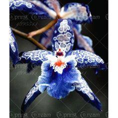 Heirloom orkidé