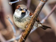 https://flic.kr/p/Aox7aY | Sparrow - Will Pose for Food - EXPLORED | Very dull day - 1600 ISO