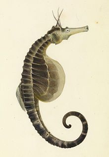 pot bellied seahorse, Hippocampus abdominalis, is one of the largest seahorse species in the world with a length of up to 35 cm, found in New Zealand and Australia