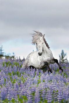 Beauty. Grey Dapple Horse running through the purple flowers.