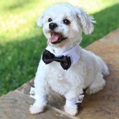 White Shirt Collar/Bow Tie (Black): The Classy Dog - Designer Dog Collars, Designer Dog Clothes