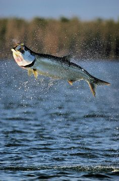 Fly fishing for tarpon is one of the biggest challenges in fly fishing. The fish are huge, they jump up to 6 feet in the air, and their mouths are solid bone.
