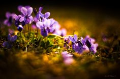 Violets are dying too by Zdravko  Horvat