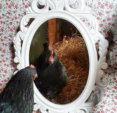 Does your coop have a mirror in it? A chandelier? How about a thermometer, vintage egg baskets or other decor? via Fresh Eggs Daily Does your coop have a mirror Chicken Coop Decor, Cheap Chicken Coops, Chicken Toys, Portable Chicken Coop, Chicken Coop Designs, Best Chicken Coop, Chicken Coop Plans, Building A Chicken Coop, Chicken Houses