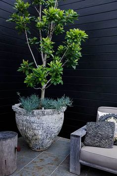 Water Gum (Tristaniopsis Luscious). A hardy Australian native . Image from Adam Robinson Design's Refern Rooftop project