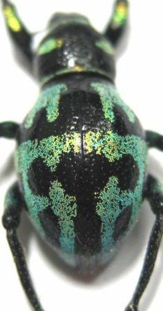 Metapocyrtus Perpulcheroides Female Green 15mm