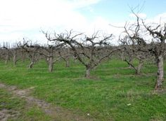 Aplicat la dezmugurit, tratamentul cu ulei horticol are impact maxim Fruit Trees, Grape Vines, Solar, Paradis, Gardening, Houses, Agriculture, Plant, Life