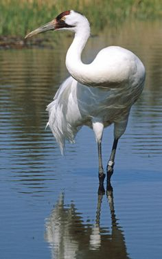 Whooping Crane by © Michael Huebschen - International Crane Foundation - Baraboo, Wisconsin via wsobirds.org