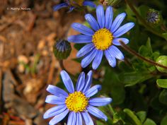Two blue daisies with yellow centers. ©Photo copyright by Marty Nelson. Photographer website: http://martynelsonphotoart.wix.com/mn-photo-art