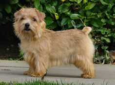 Norfolk Terrier Dog - Facts about Norfolk Terrier Dogs . Unique Dog Breeds, Rare Dog Breeds, Cute Dogs Breeds, Small Dog Breeds, Lucas Terrier, Skye Terrier, Terrier Breeds, Terrier Dogs, Cairn Terriers