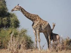 The majestic giraffe - One of most beautiful animals that can be seen on an African Safari! www.thecruiseplanner.com