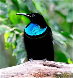 Male Magnificent Riflebird (Ptiloris magnificus)