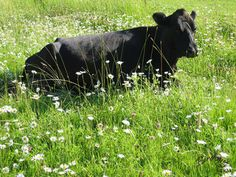 My very first cow, Birdsong Summer Blossom, resting in a field of daisies.