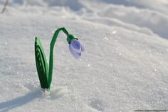 Snowdrop by cridiana on DeviantArt