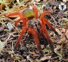 Juvenile emerald skeleton tarantula