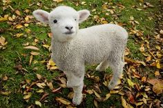 Not to many sheep on here so I give you Mr Fuzzles