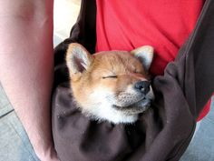 Shiba inu Mango napping in a messenger-style sling bag.
