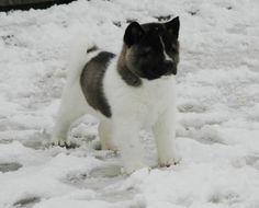akita puppies | ... finiganakitas com puppy at 5 weeks puppy at 5 weeks puppy at 8 weeks