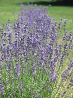 Lavender looks beautiful and smells even better, so it's no wonder that the plant has been used for thousands of years for medicinal benefits.