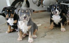 Pitbull (two tri colored and one blue tri colored)