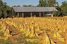 Burley Tobacco ready for the barn; this was the cash crop in my Tennessee farm home when I was a child.